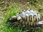 Schildkröte Karl