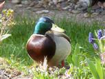 Stock-Ente (Männchen)