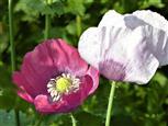 Schlafmohn - rosa und lila