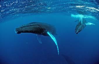 Buckelwal, Mutter und Kalb