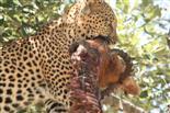 Leopard mit Impala