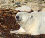 Eisbär in Erwartung des Frostes
