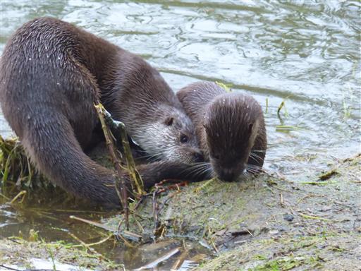 Agile Otter