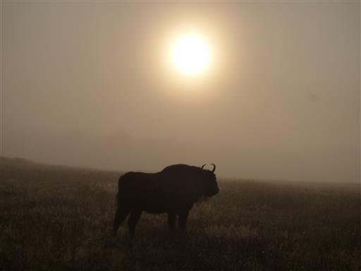 Wisent im Nebel