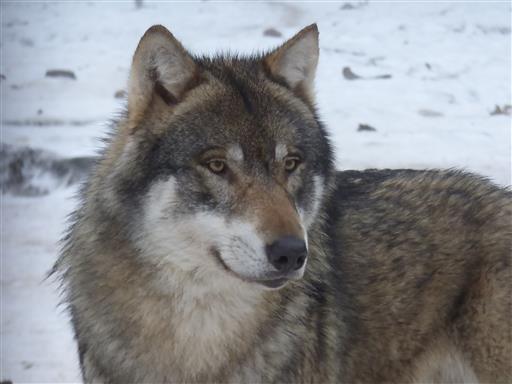 Aufmerksamer Wolf