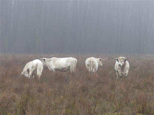 Englische Parkrinder im Nebel