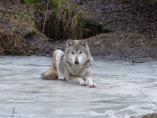 Wolf auf zugefrorenem Teich