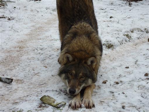 Übermütiger Jungwolf läd zum spielen ein