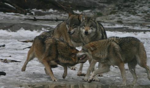 Wölfe in der Ranzzeit