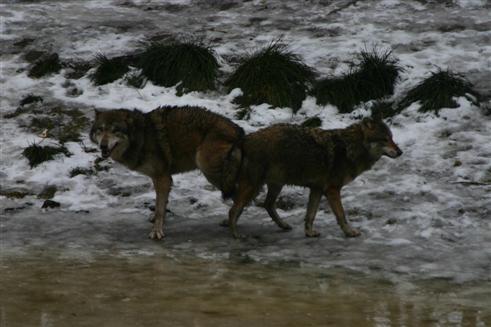 Wolfspaarung Ende Februar 2009