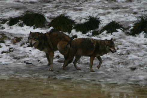 Wolfspaarung