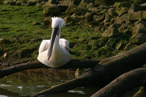 Pelikan am Morgen