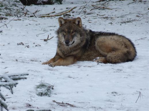 Schöner Jungwolf