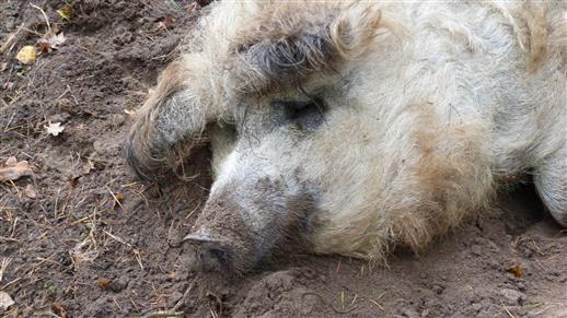 Faules Schwein :=)