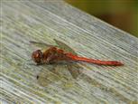 Libelle verschnauft