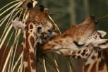 Giraffe beim Frühstück