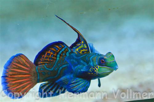 Mandarin-Leierfisch