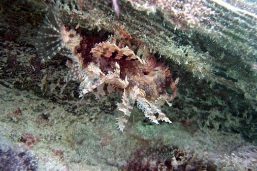 Rotfeuerfischbaby