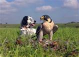 Wanderfalke (Beizvogel) und Vogelhund (Englischsetter)
