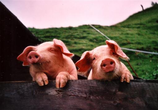 Neugierige Schweine