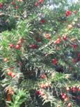 Farbenspiel der Eibe mit ihren Früchten