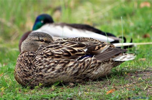Schlafende Stockentenpaar am Ufer