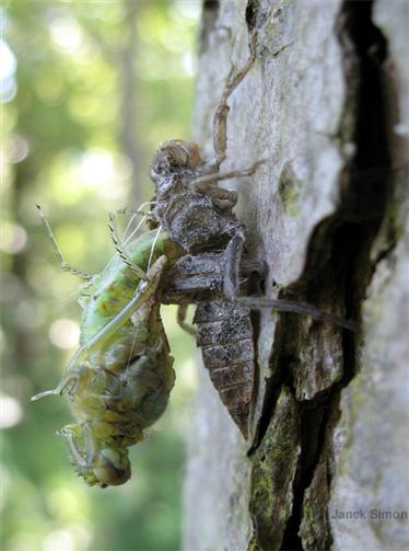 Schlüpfende Libelle am Erlenstamm