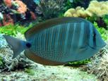 Doktorfisch im Aquarium
