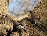 Ehepaar Eichelhäher stattet Nest aus