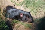 Tasmanischer Teufel, schlafend