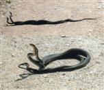 Schlangenkampf