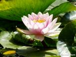 Rose im Teich
