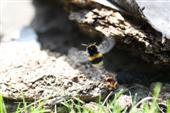 Hummel im Anflug auf das Nest