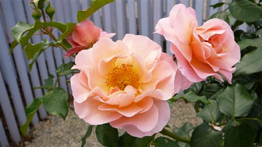 Rosentraum in Apricot