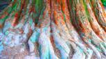Wurzeln eines Mammutbaumes