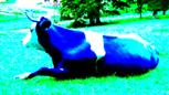 Blaue Kuh :-)