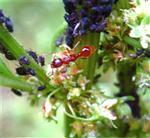 Ameise auf Futtersuche