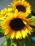 Sonnenblumen-Lachgesichter
