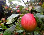 Apfelbaum im August auf Streuobstwiese