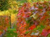 Herbstliches Weinlaub ... einem Gemälde gleich
