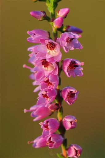 Heide (calluna vulgaris)