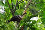 Hoazin (Ecuador)