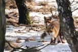 Fuchs - kopulierende Füchse