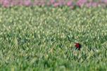 Schlechte Tarnung - würden doch bloß schon die roten Tulpen blühen...