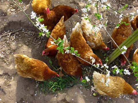 Hühnervolk im Frühling