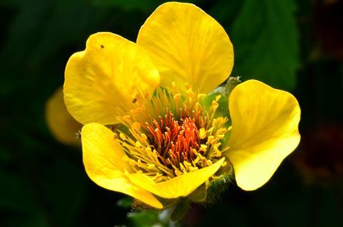 Nelkwurzblüte