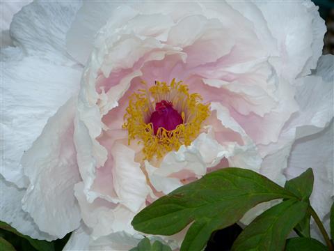 zart rosa Strauchpäonie