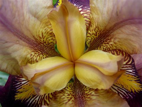 Schönheit von Innen-Schwertlilie