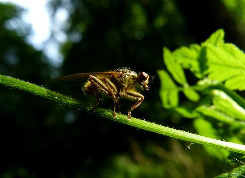 Mist-Fliege