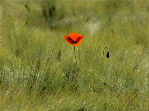 Mohn-Light